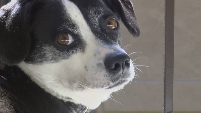 Veterinarians at Kings Veterinary Hospital are warning dog owners that grain-free diets could...