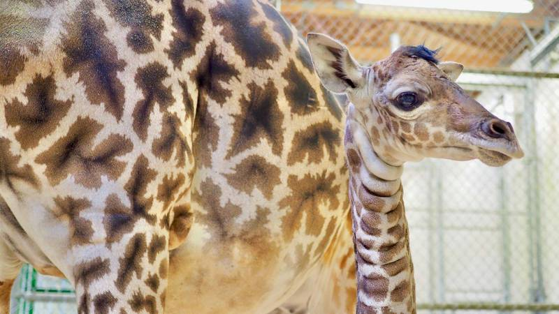 Cleveland Metroparks Zoo welcomes giraffe calf born on Oct. 13
