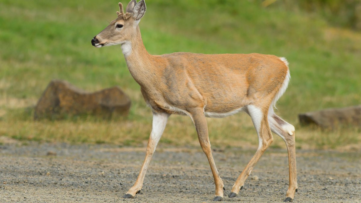 A white tailed deer