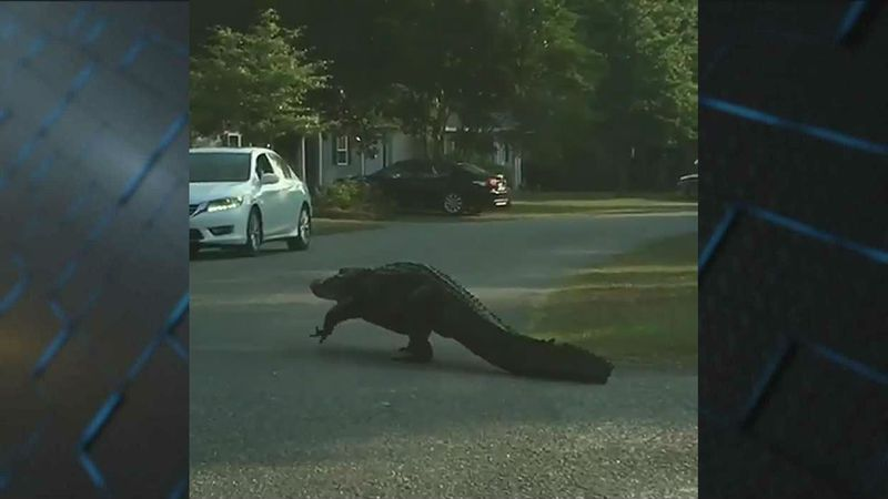 An alligator was seen roaming the streets of the Myrtle Beach Golf and Yacht Club Monday morning.