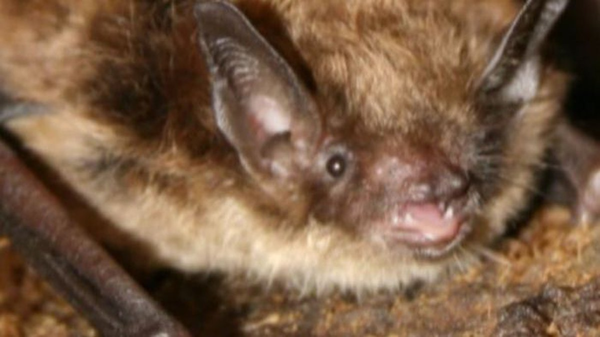 Infected animals such as bats transfer rabies via saliva. (Source: KFVS)