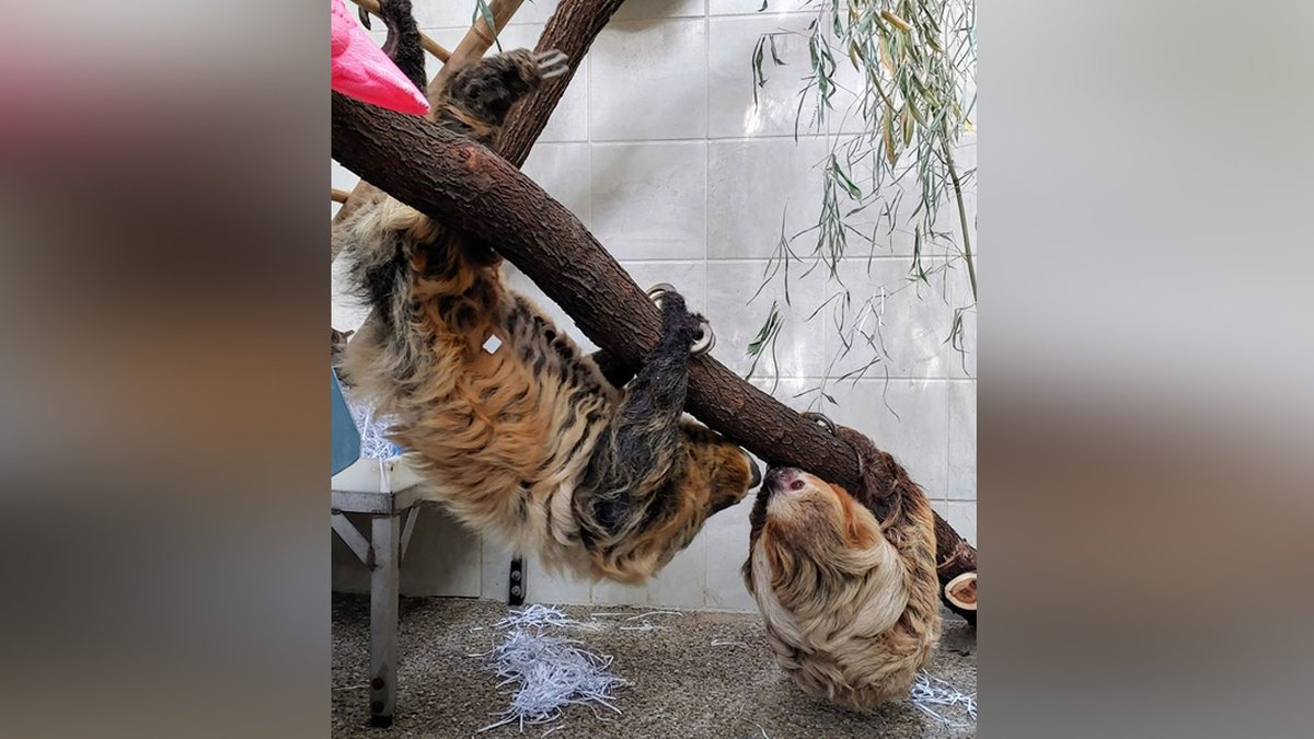 'Two-toed Moe' the sloth is missing from his habitat in Discovery Forest, but it's for a good...