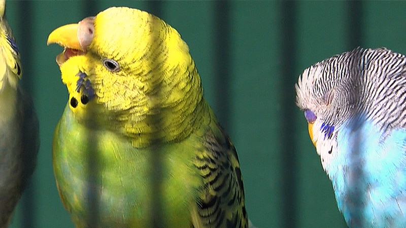 The owner of Pet's Palace said thieves managed to jam more than 150 birds into cages to smuggle...