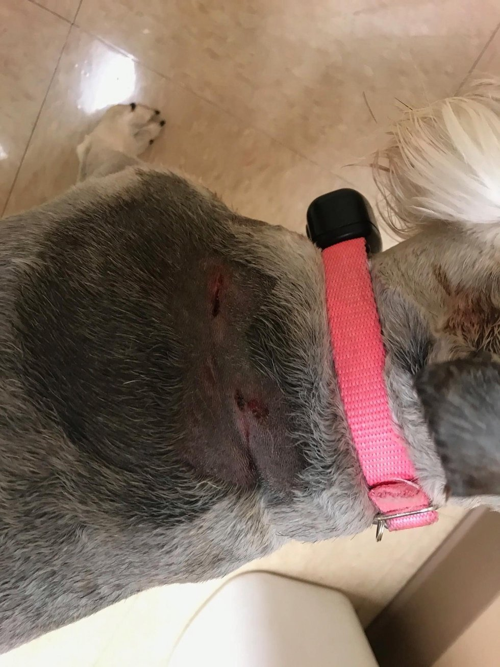 Dog, lucky to be alive after a trio of coyotes attack