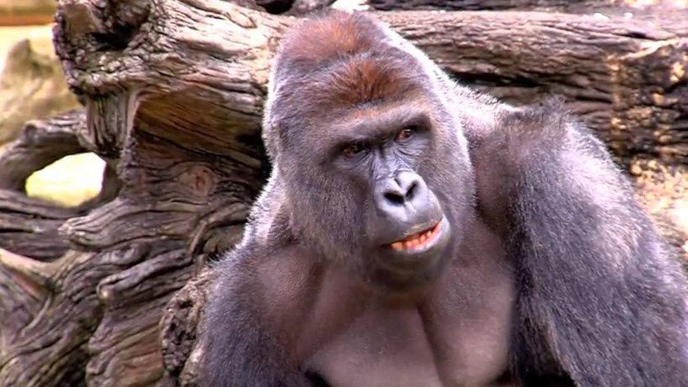 Harambe, the 17-year-old Western Lowland Gorilla. (YouTube/CincinnatiZoo)