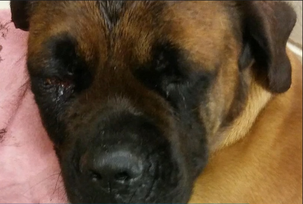 Cooper, an English Mastiff, was rescued by Dearborn County Animal Control following the crime.