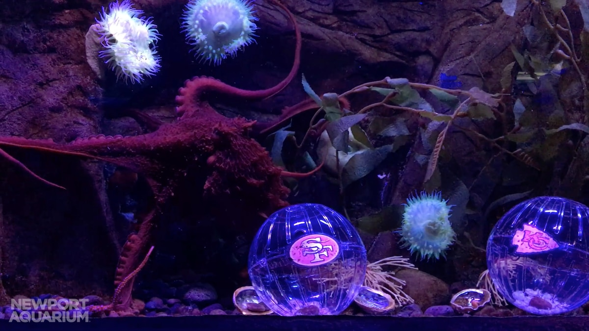 The Newport Aquarium's resident octopus is a Chief's fan!