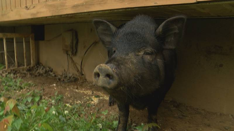 Gypsy was the lone survivor of a brutal pig attack in Bullitt County.