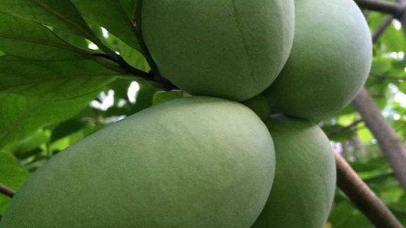 These are pawpaws grown by Gwen Rosenberg in Kent. The pawpaw is pretty rare but is Ohio's...