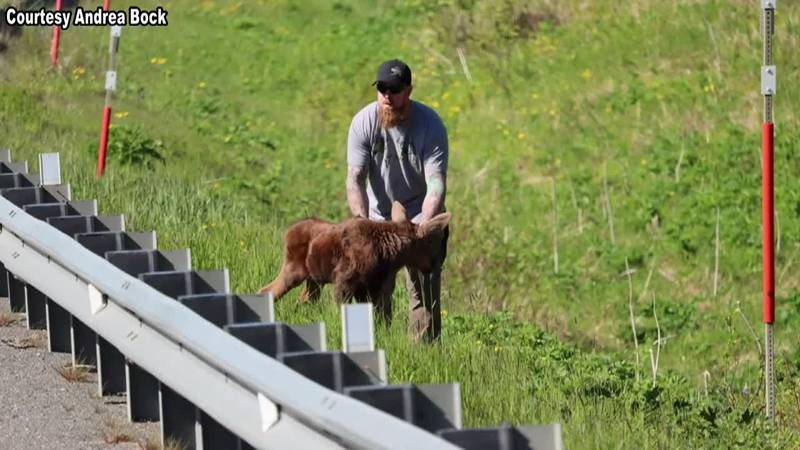 Joe Tate helped a moose calf cross the road. It could have gone badly, but he's not your...