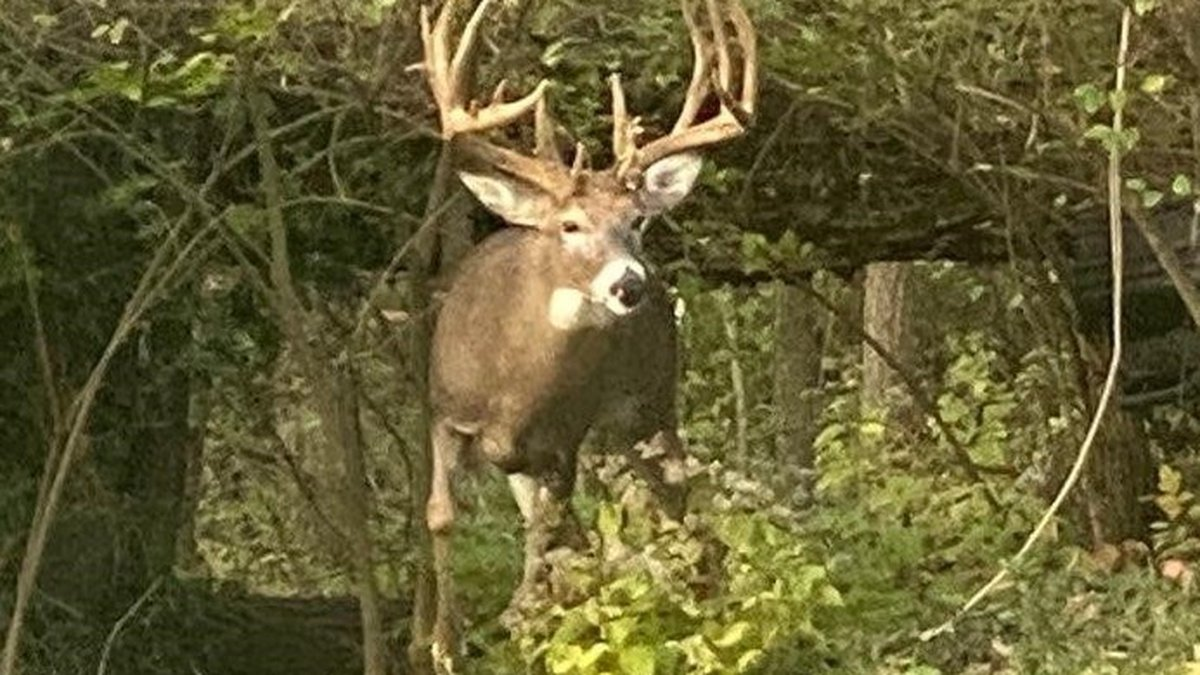 The unofficial score of the buck's non-typical antlers could rank in the top 25 all-time for...