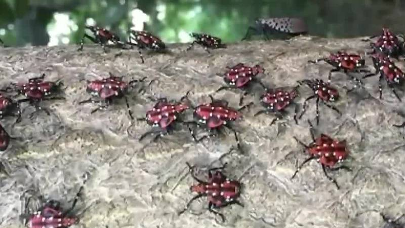 Experts warn about invasive insect discovered in Tri-State