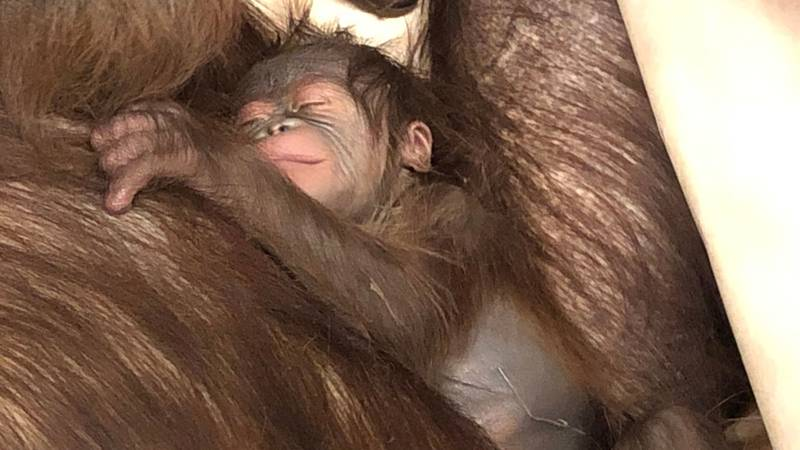 Cleveland Metroparks Zoo asks for help naming baby orangutan