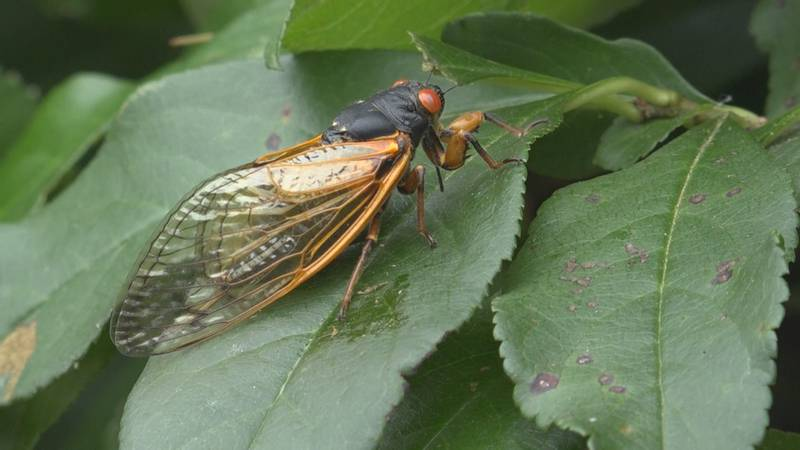 The noisy cicadas are starting to die down.