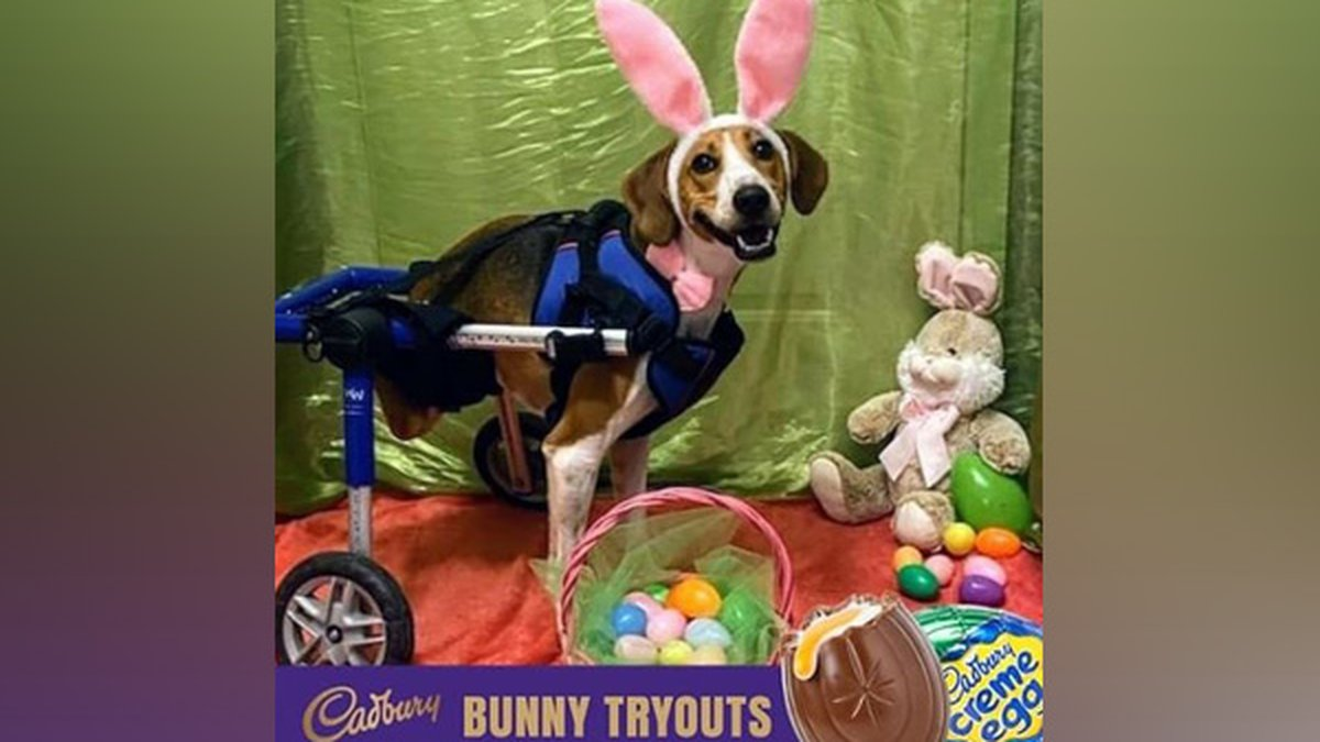 Vote for Lt. Dan to be the next Cadbury east Bunny.