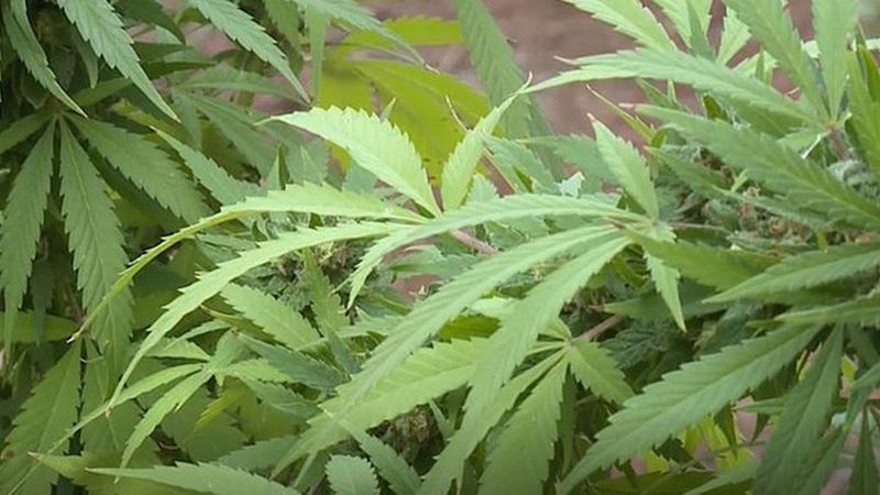Soon more people in Louisiana will be able to get medical marijuana. In August, doctors will be...