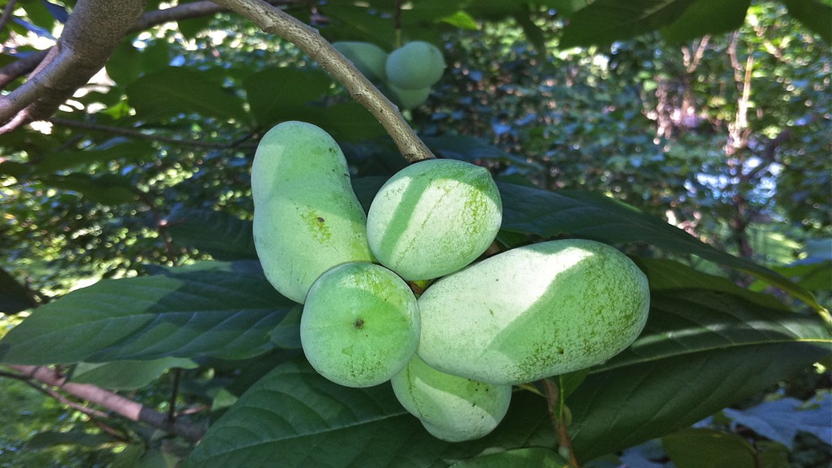 """Pawpaw fruit is often called the """"Poor Man's Banana"""" because its taste is a cross between a..."""